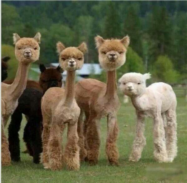 skinny-llamas