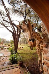 giraffe-hellooo